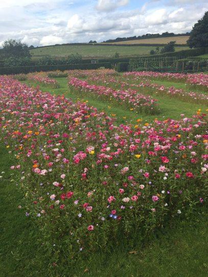 FOG wild flower maze