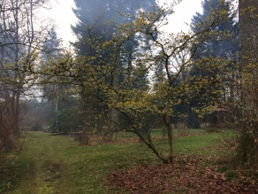 Witch Hazel in bloom at Geilston